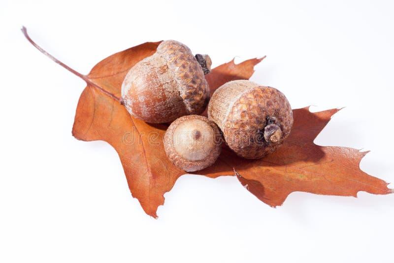 Niektóre acorns na suchym liściu dębu zakończenie up fotografia stock