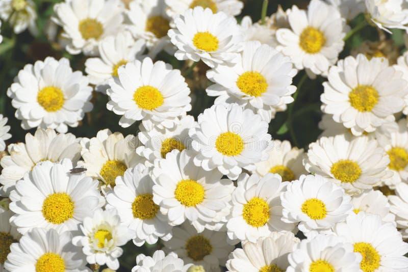 Niektóre biali marguerite kwiaty Stokrotka ogród z otwartymi płatkami i żółtymi stamens fotografia stock