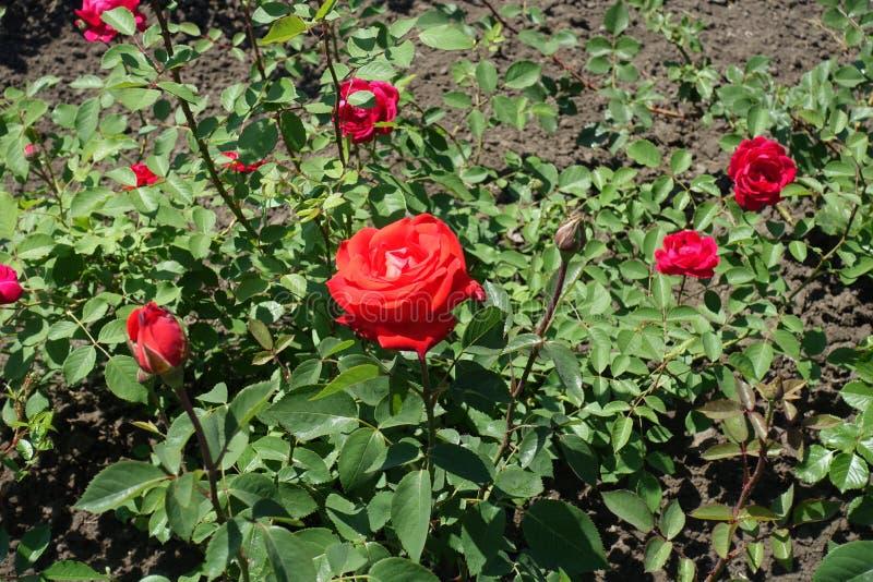 Niektóre czerwień kwitnie w leafage wzrastał obraz royalty free