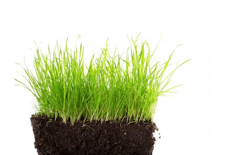 Niektóre dzika trawa w ziemi odizolowywającej na bielu zdjęcia stock