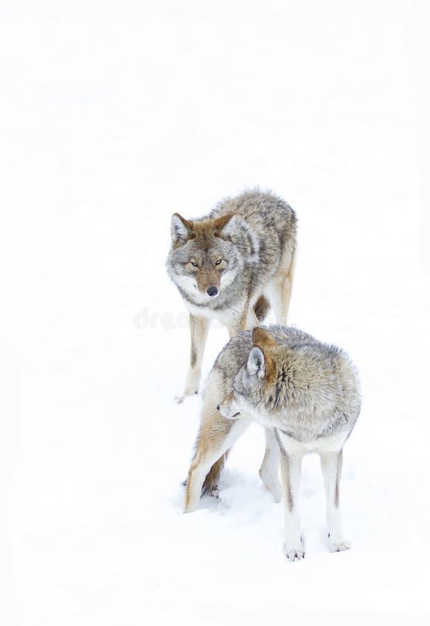 Niektóre kojoty chodzi przeciw białemu zimy tłu obraz royalty free