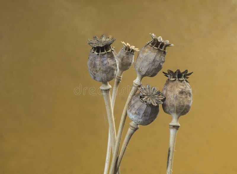 Niektóre suche makowe kwiat głowy fotografia stock