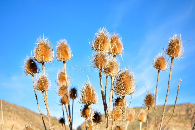 niektóre susi brązów kwiaty roślina dzwonili teasel, dipsacus fullonum w łacińskim, w ogródzie z krajobrazem i niebieskim  obrazy stock