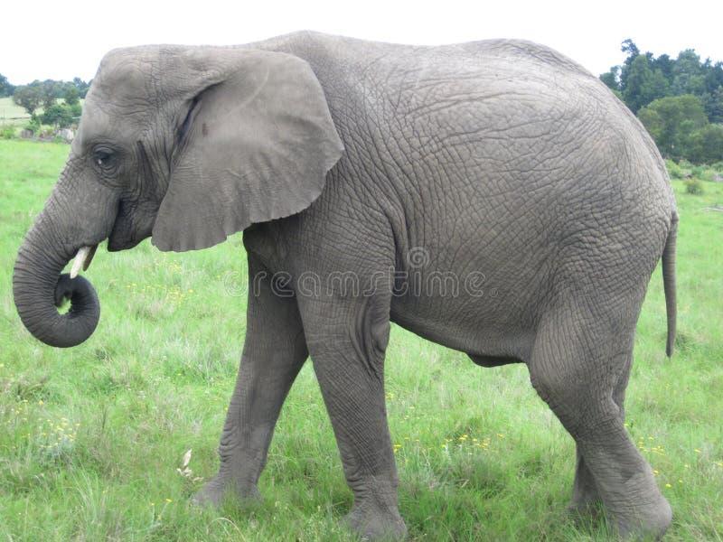 Nieletni Afrykański słoń strony profil obraz royalty free