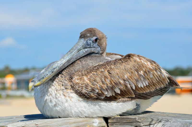 Nieletni Brown pelikan zdjęcie royalty free