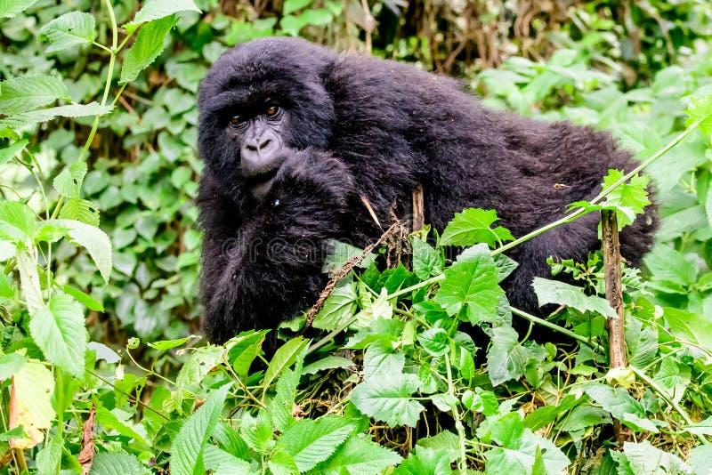 Nieletni halnego goryla spoglądanie przez roślinności obraz stock