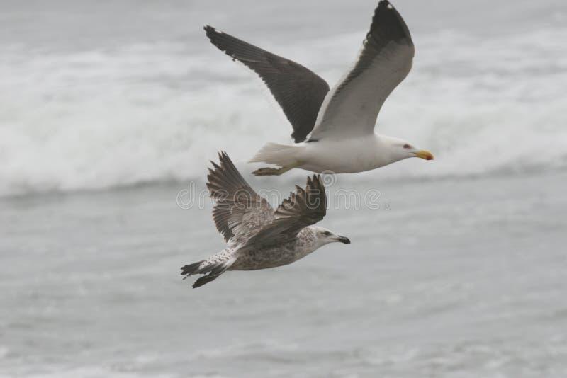 Nieletni i dorosły Kelp frajera zakończenie up zdjęcie royalty free