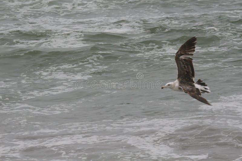 Nieletni Kelp frajer lata nad oceanem fotografia stock