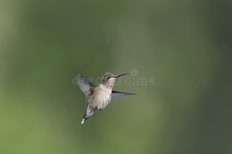 Nieletni męski Hummingbird z nowymi rubinami na jego gorget fotografia stock