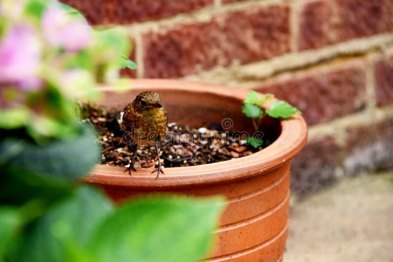 Nieletni rudzik umieszcza na ogrodowym flowerpot, jako ono patrzeje dla jedzenia zdjęcie royalty free