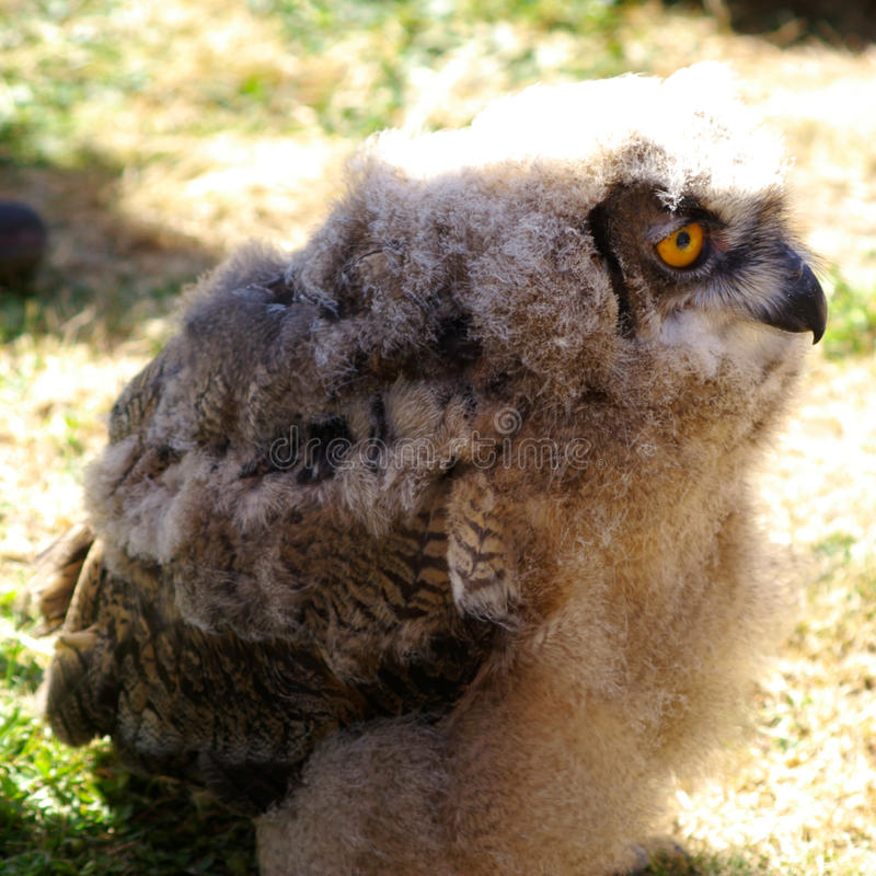 Nieletnia Eagle sowa w profilu obrazy royalty free