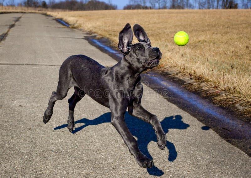 Niemądry Great Dane szczeniak goni tenisową piłkę z ucho klapać zdjęcie royalty free