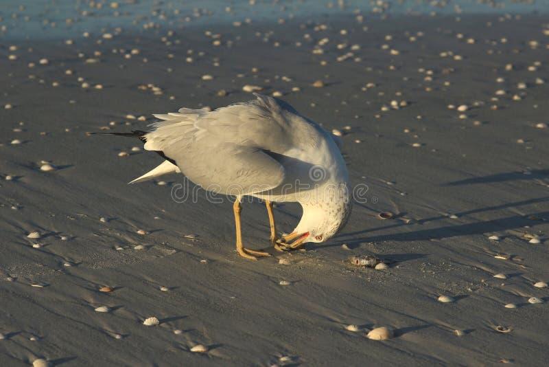 Niemądry stary seagull zdjęcie royalty free