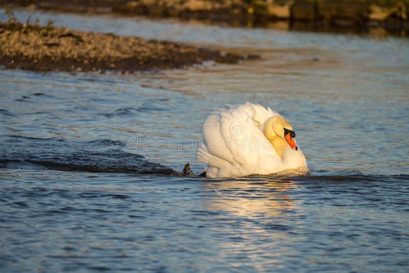 Niemego łabędź Cygnus olor w zagrożenie pozie ściga się przez jezioro obraz royalty free