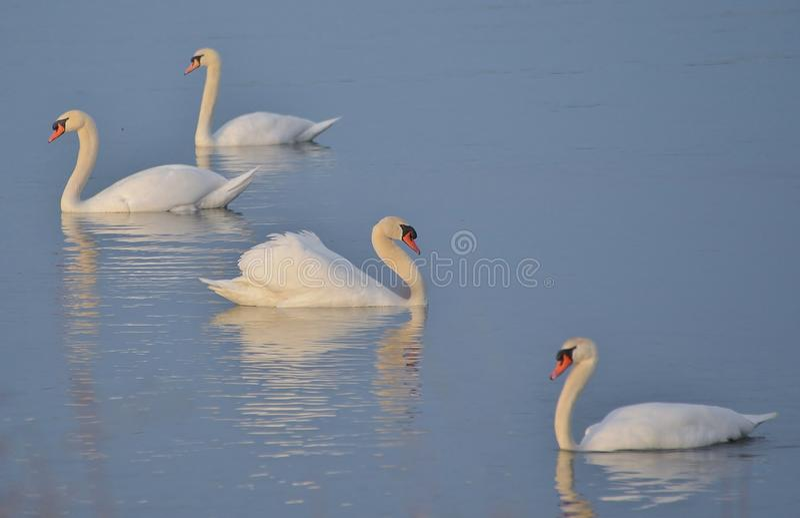 Niemego łabędź kwartet po jutrzenkowego Jeziornego Ontario zdjęcie royalty free