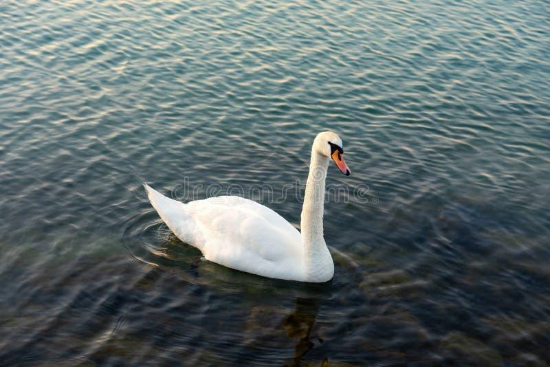 Niemego ?ab?d? Cygnus olor jest gatunki ?ab?d? i cz?onek waterfowl rodziny Anatidae Biały łabędź w błękicie obrazy royalty free