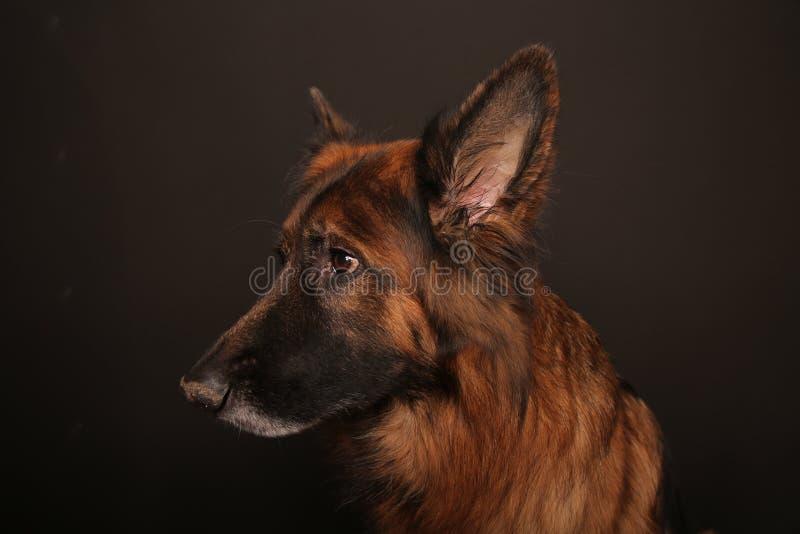 Niemiec Sheperd psa Alfa ` s portret na Black&white Backround obrazy stock