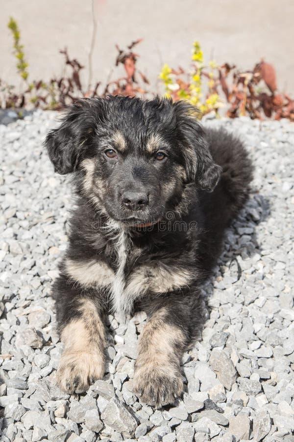 Niemiec shephed dorosłego pies fotografia royalty free