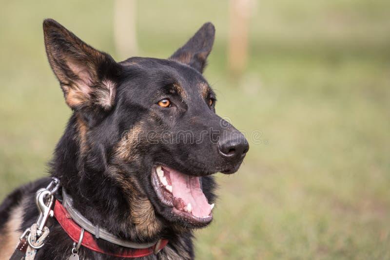 Niemiec shephed dorosłego pies zdjęcie royalty free