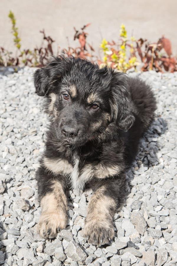 Niemiec shephed dorosłego pies obrazy royalty free