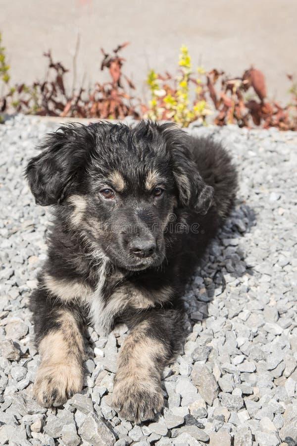 Niemiec shephed dorosłego pies fotografia stock