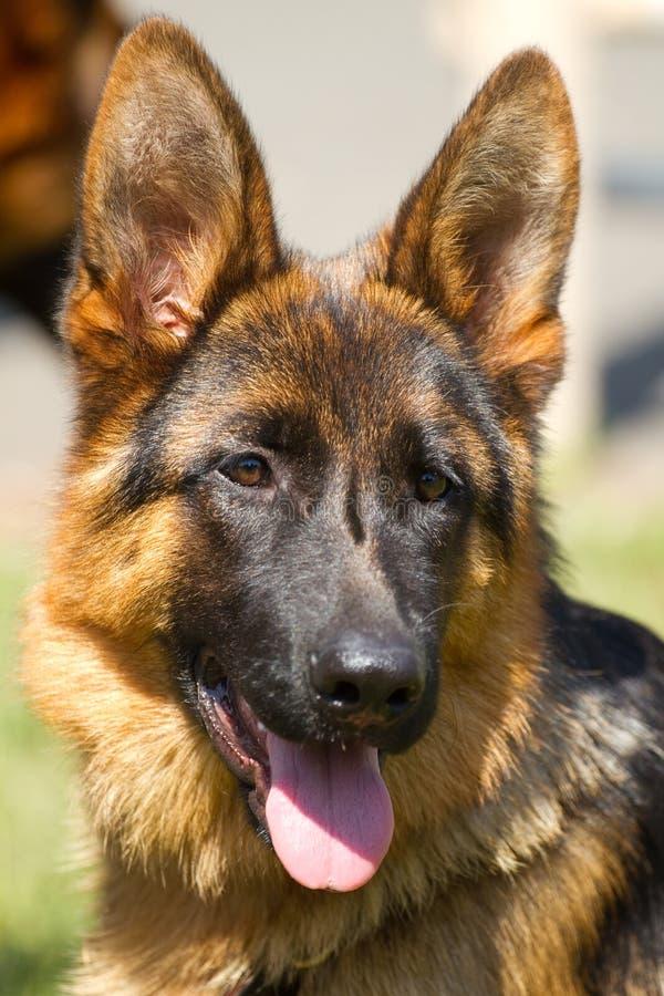 Download Niemieccy Pasterscy psy obraz stock. Obraz złożonej z traken - 33195131