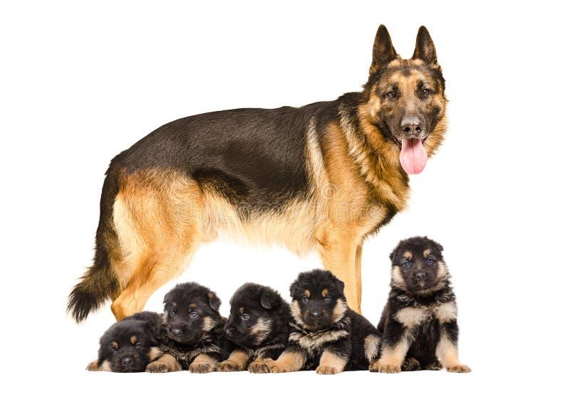 Niemiecka Pasterskiego psa pozycja z szczeniakami zdjęcia stock