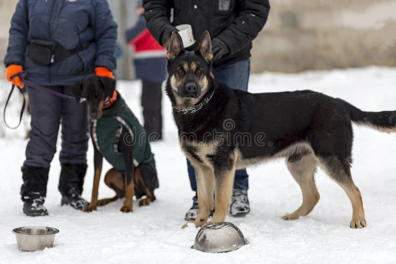 Niemiecki bacy, strażowego i milicyjnego pies w zimie, zdjęcie royalty free