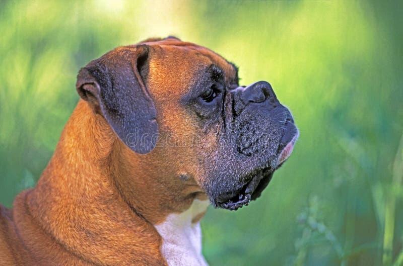 Niemiecki boksera pies, profilowy portreta zakończenie up obraz royalty free