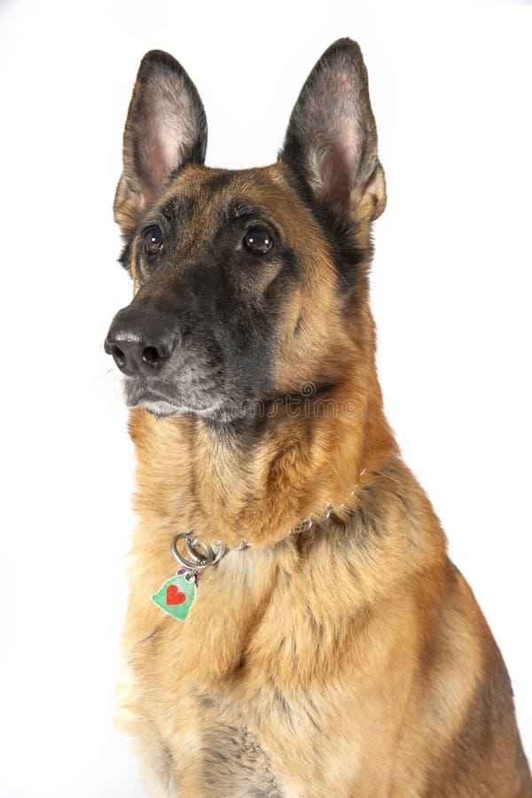 Niemiecki Pasterski pies zdjęcia royalty free