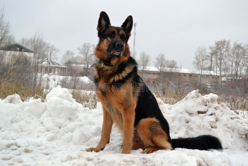 Niemiecki pasterski pies chroni coś obraz stock