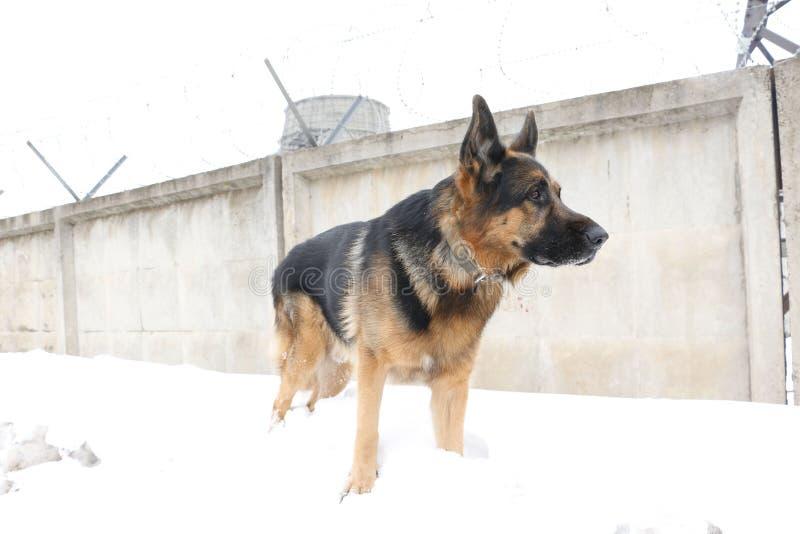 Niemiecki pasterski pies chroni przedmiot w zimie fotografia stock