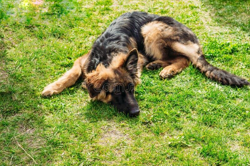 Niemiecki pasterski pies kłama na trawie obrazy stock