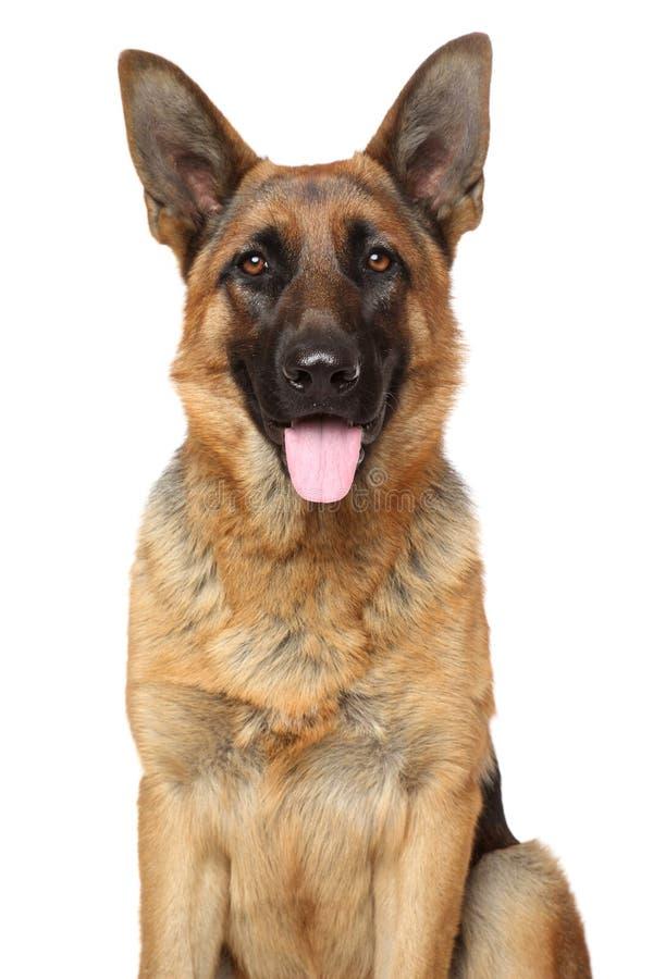 Niemiecki Pasterski pies. Portret na bielu fotografia stock