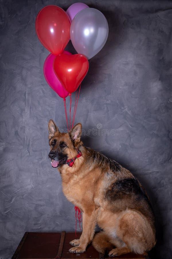 Niemiecki pasterski pies z balonami fotografia stock