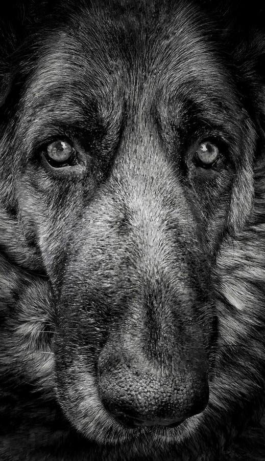 Niemiecki Pasterskiego psa portret obrazy stock