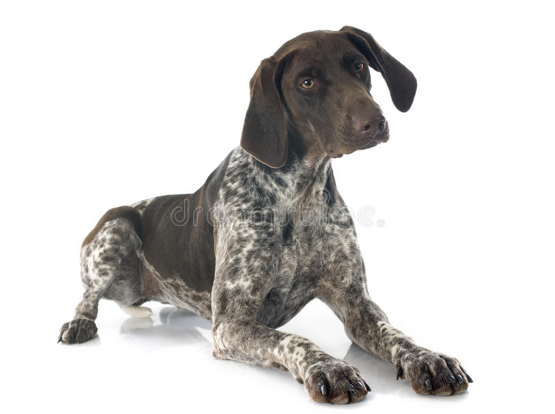 niemiecki pointer shorthaired obraz stock