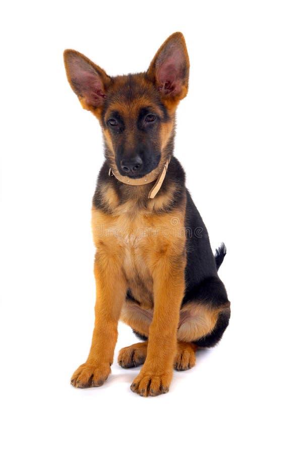 niemiecki psa shepard posiedzenia obrazy stock