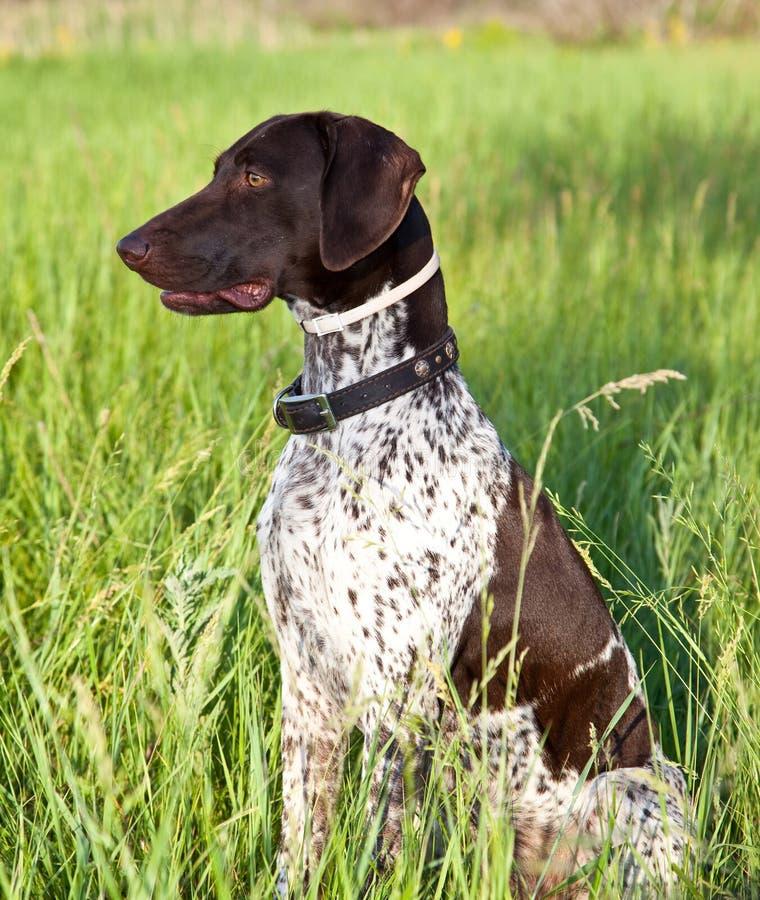 niemiecki psi niemiecki pointer obraz stock