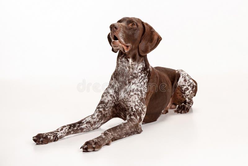 Niemiecki Shorthaired pointer - Kurzhaar szczeniaka pies odizolowywający na białym tle obrazy royalty free