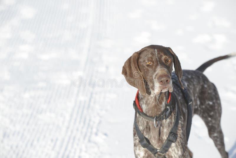 Niemiecki shorthaired pointer - myśliwego pies obrazy royalty free
