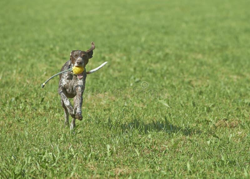 Niemiecki shorthaired pointer - myśliwego pies obraz stock