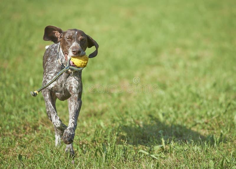Niemiecki shorthaired pointer - myśliwego pies zdjęcia stock