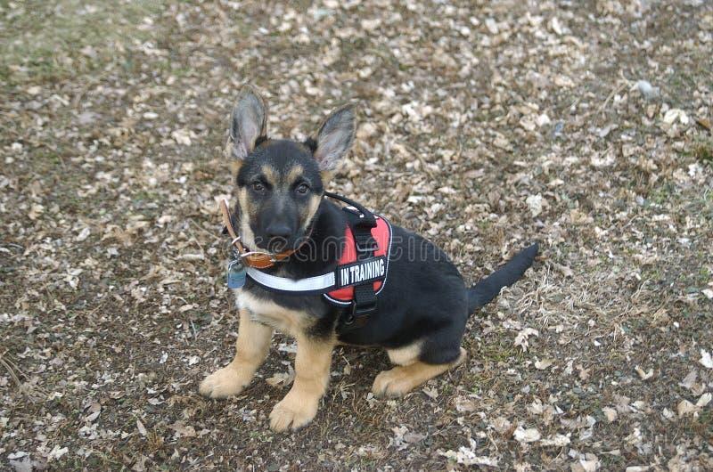 Niemiecki szczeniak Sheppard na szkoleniu zdjęcia royalty free