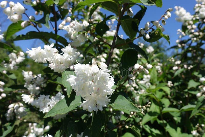 Niemieckie filie z biaÅ'ymi kwiatami w maju zdjęcia stock
