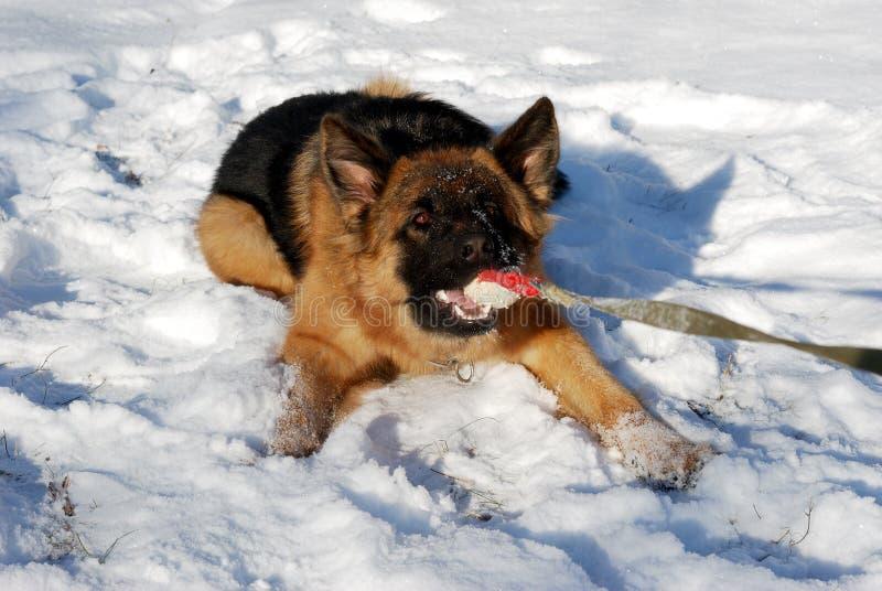 Niemieckie pasterskiego psa sztuki z gumową zwierzę domowe zabawką, piłka w zimy śnieżnym polu dziewięć miesięcy wieków zdjęcie stock