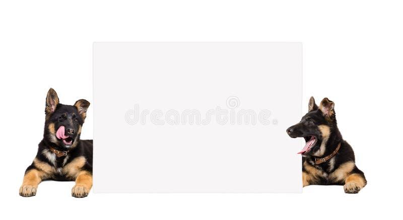 Niemieckiej bacy szczeniaków zerkanie za od sztandaru fotografia stock