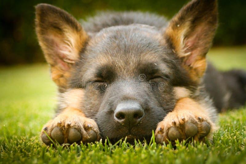 Niemieckiej bacy szczeniaka dosypianie na ciepłym letnim dniu na ciepłym su zdjęcie royalty free