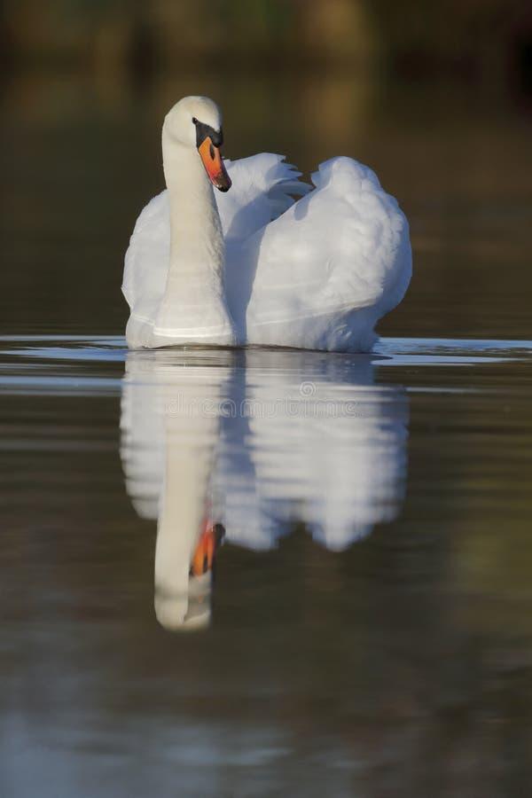 Niemy łabędź, Cygnus olor zdjęcie royalty free