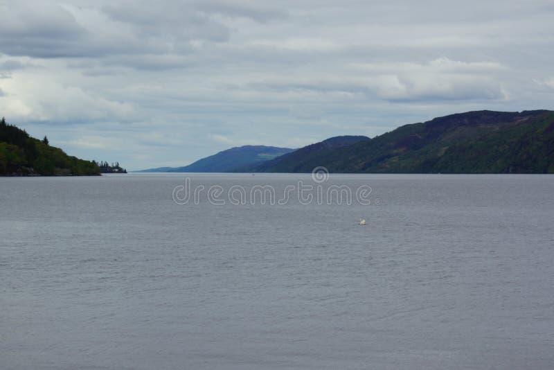 Niemy łabędź - Cygnus olor na Loch Ness obraz royalty free